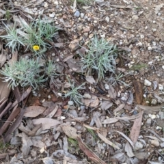 Leucochrysum albicans subsp. albicans (Hoary Sunray) at Nail Can Hill - 7 Jun 2021 by Darcy