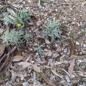 Leucochrysum albicans subsp. albicans (Hoary Sunray) at Nail Can Hill by Darcy