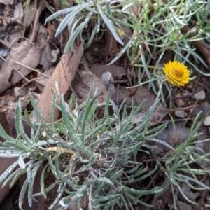Leucochrysum albicans subsp. albicans at Nail Can Hill - 7 Jun 2021