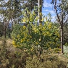 Acacia podalyriifolia (Queensland Silver Wattle) at Albury - 7 Jun 2021 by Darcy