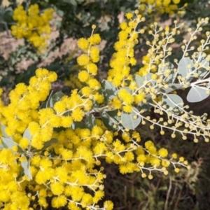 Acacia podalyriifolia at Albury - 7 Jun 2021
