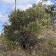 Acacia iteaphylla (Flinders Range Wattle) at Nail Can Hill - 7 Jun 2021 by Darcy