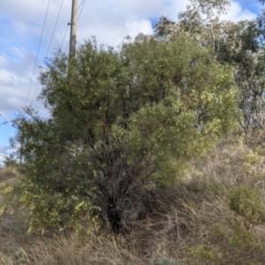 Acacia iteaphylla (Flinders Range Wattle) at Nail Can Hill by Darcy