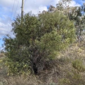 Acacia iteaphylla at Nail Can Hill - 7 Jun 2021