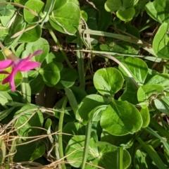 Oxalis purpurea at Albury - 7 Jun 2021
