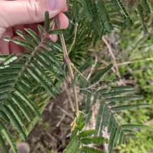 Acacia mearnsii at Albury - 7 Jun 2021