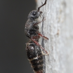 Mutillidae sp. (family) (Unidentified 'velvet ant') at Acton, ACT - 2 Jun 2021 by TimL