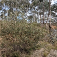 Acacia verniciflua (Varnish Wattle) at Albury - 7 Jun 2021 by Darcy