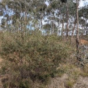 Acacia verniciflua (Varnish Wattle) at Albury by Darcy