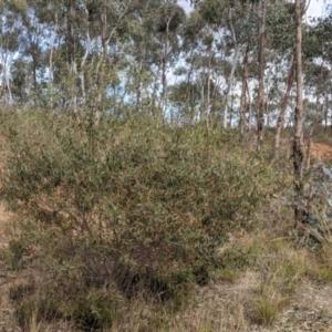 Acacia verniciflua at Albury - 7 Jun 2021