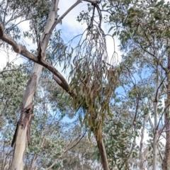 Amyema sp. (Mistletoe) at Albury - 7 Jun 2021 by Darcy