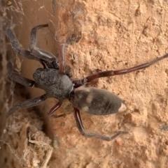 Lampona cylindrata (White-tailed spider) at Murrumbateman, NSW - 7 Jun 2021 by SimoneC