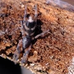 Lampona sp. (genus) (White-tailed spider) at Aranda, ACT - 7 Jun 2021 by Kurt