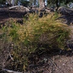 Cassinia sifton (Sifton bush, Chinese Shrub) at Holt, ACT - 7 Jun 2021 by Kurt