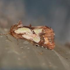 Cosmodes elegans (Green Blotched Moth) at Higgins, ACT - 4 Jun 2021 by AlisonMilton