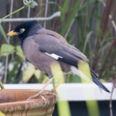 Acridotheres tristis (Common Myna) at Higgins, ACT - 2 Jun 2021 by AlisonMilton