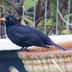 Turdus merula (Common Blackbird) at Higgins, ACT - 2 Jun 2021 by AlisonMilton