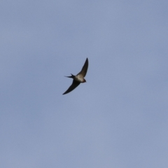 Hirundo neoxena (Welcome Swallow) at Kambah, ACT - 7 Jun 2021 by RodDeb
