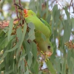 Polytelis swainsonii (Superb Parrot) at Greenway, ACT - 7 Jun 2021 by RodDeb