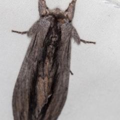 Destolmia lineata (Streaked Notodontid) at Melba, ACT - 22 Oct 2020 by Bron
