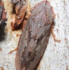Stenocotis depressa (Gum bark leafhopper) at ANBG - 4 Jun 2021 by TimL