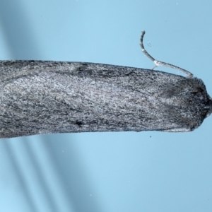 Paralaea ochrosoma at Ainslie, ACT - 20 May 2021