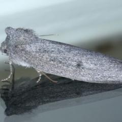 Paralaea ochrosoma at Ainslie, ACT - 21 May 2021