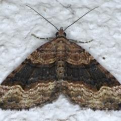 Epyaxa subidaria (Subidaria Moth) at Ainslie, ACT - 21 May 2021 by jbromilow50
