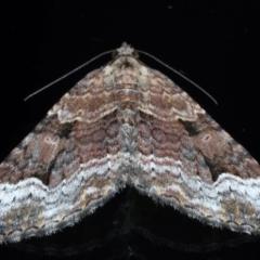 Epyaxa subidaria (Subidaria Moth) at Ainslie, ACT - 24 May 2021 by jbromilow50