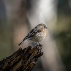 Petroica boodang (Scarlet Robin) at Nadgigomar Nature Reserve - 5 Jun 2021 by trevsci