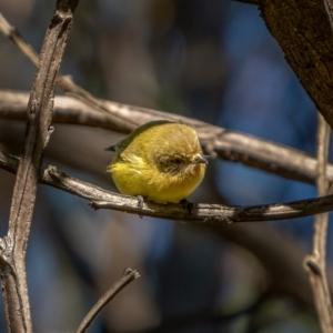 Acanthiza nana at Nadgigomar Nature Reserve - 5 Jun 2021