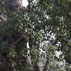 Brachychiton populneus subsp. populneus at Tuggeranong Hill - 28 Apr 2021