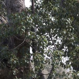 Brachychiton populneus subsp. populneus at Theodore, ACT - 28 Apr 2021
