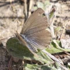 Zizina otis (Common Grass-blue) at Theodore, ACT - 28 Apr 2021 by AlisonMilton