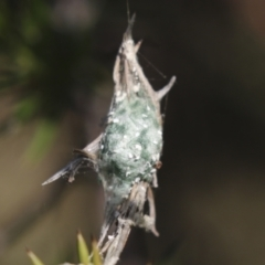 Unidentified Spider (Araneae) (TBC) at Theodore, ACT - 28 Apr 2021 by AlisonMilton