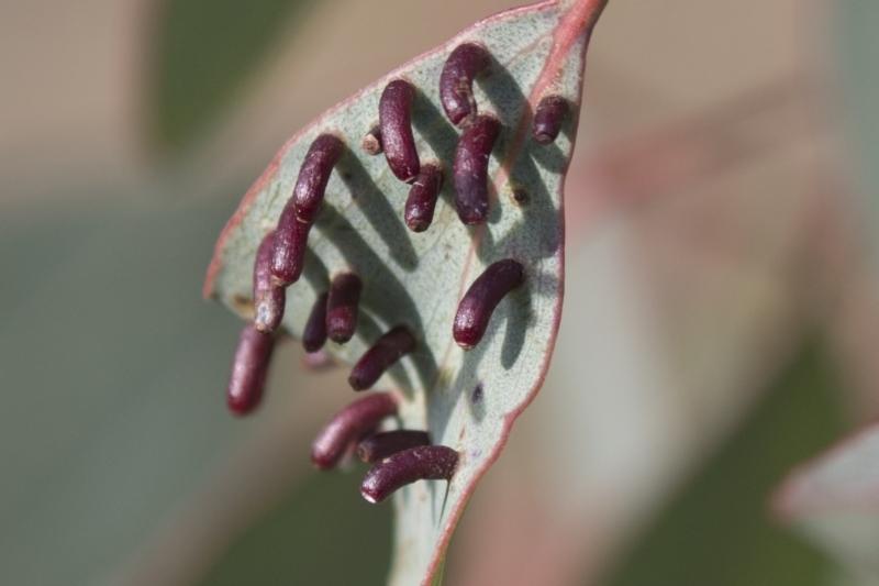 Apiomorpha sp. (genus) at Tuggeranong Hill - 28 Apr 2021