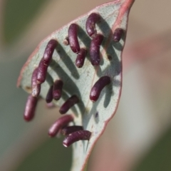 Apiomorpha sp. (genus) (A gall forming scale) at Theodore, ACT - 28 Apr 2021 by AlisonMilton