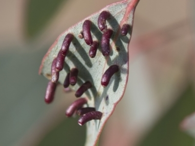 Apiomorpha sp. (genus) (A gall forming scale) at Tuggeranong Hill - 28 Apr 2021 by AlisonMilton
