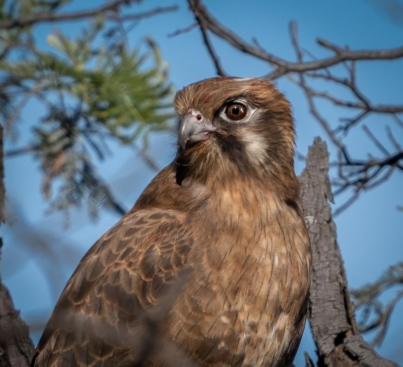 Falco berigora at Currawang, NSW - 6 Jun 2021