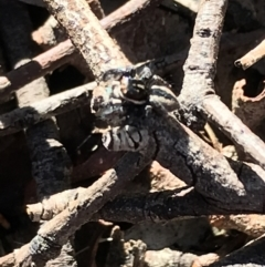 Jotus auripes (Jumping spider) at Downer, ACT - 31 May 2021 by Tapirlord