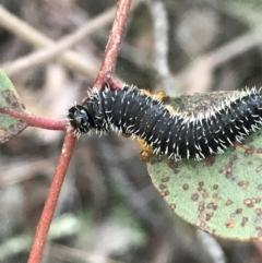 Perga sp. (genus) at Black Mountain - 31 May 2021