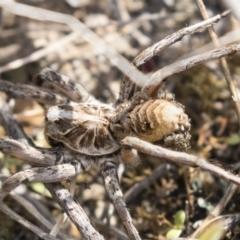 Tasmanicosa godeffroyi (Garden Wolf Spider) at Theodore, ACT - 28 Apr 2021 by AlisonMilton