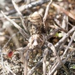 Tasmanicosa godeffroyi at Tuggeranong Hill - 28 Apr 2021