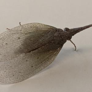 Rentinus dilatatus (Rusty Long-nosed Planthopper) at Albury by TrinityAnglicanCollege