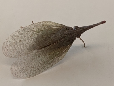 Rentinus dilatatus (Rusty Long-nosed Planthopper) at Albury - 8 Jun 2021 by TrinityAnglicanCollege