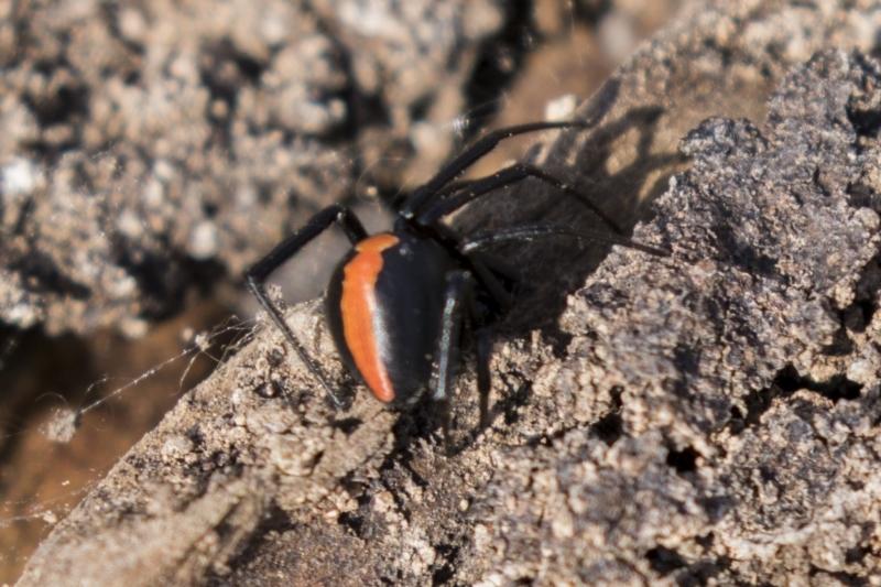 Latrodectus hasselti at Tuggeranong Hill - 28 Apr 2021