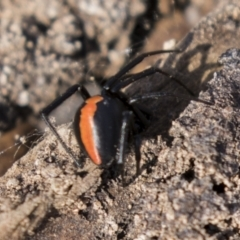 Latrodectus hasselti (Redback Spider) at Theodore, ACT - 28 Apr 2021 by AlisonMilton