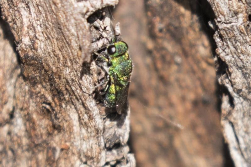 Chrysididae sp. (family) at Tuggeranong Hill - 28 Apr 2021