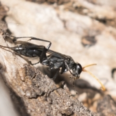 Pompilidae sp. (family) at Tuggeranong Hill - 28 Apr 2021