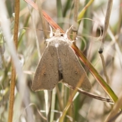Mythimna convecta (Common Armyworm) at Theodore, ACT - 28 Apr 2021 by AlisonMilton